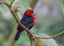 Red-headed Bluebill (Spermophaga ruficapilla)  Se distribuye en África