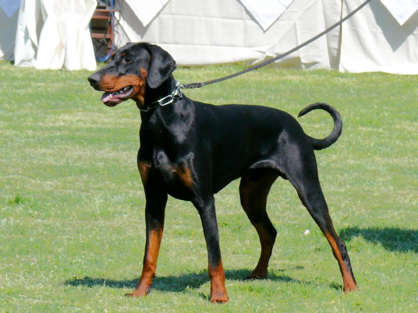 la historia de los dobermans mascotas taringa. Black Bedroom Furniture Sets. Home Design Ideas